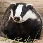 Pixwords BADGER