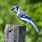 Pixwords BLUE JAY