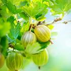 Pixwords GOOSEBERRIES