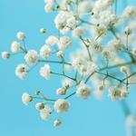 Pixwords GYPSOPHILA