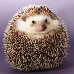 Pixwords HEDGEHOG