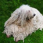 Pixwords KOMONDOR