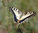 Pixwords PAPILIO MACHAON