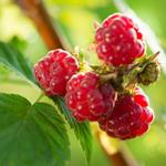Pixwords RASPBERRIES