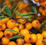 Pixwords SEA BUCKTHORN