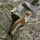 Pixwords STOAT