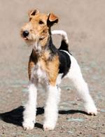 Pixwords FOX TERRIER