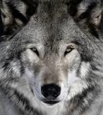 Pixwords LOUP