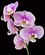 Pixwords ORCHIDÉE