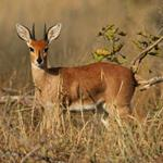 Pixwords ANTILOPE