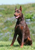 Pixwords DOBERMANS