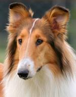 Pixwords COLLIE